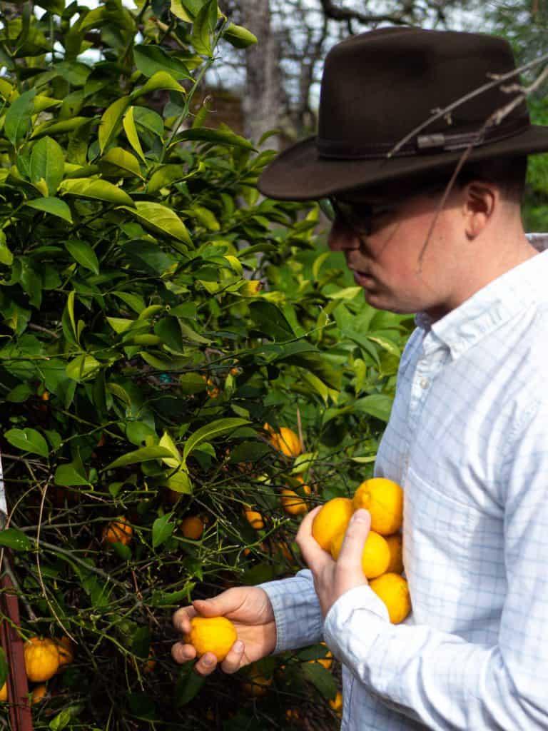 Alex picking Meyer lemons from the lemon tree