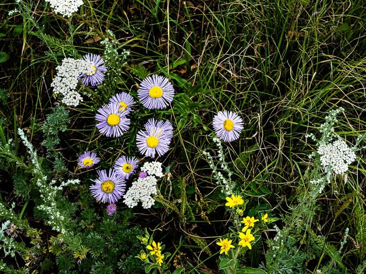 Close up look of wild flowers including white and purple daisies at the Caribou Ranch Open Space in Nederland, CO