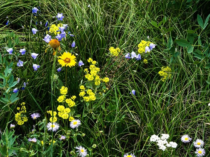 Close up look of wild flowers including white, purple, and pink daisies at the Caribou Ranch Open Space in Nederland, CO