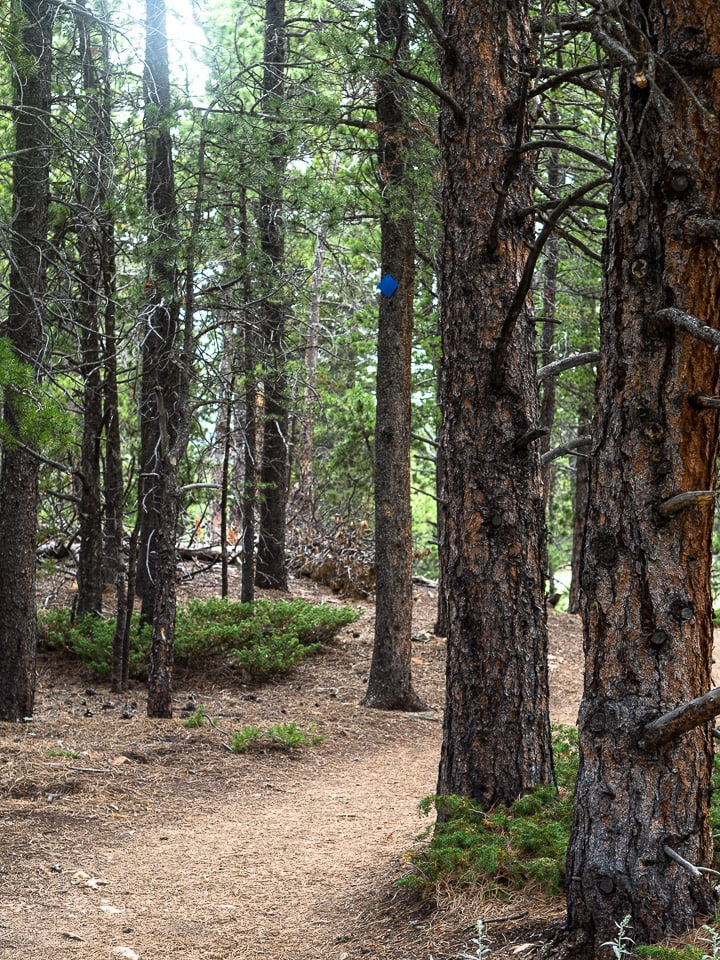 Portrait view of tall pine trees and a dirt path in the Caribou Ranch Open Space in Nederland, CO