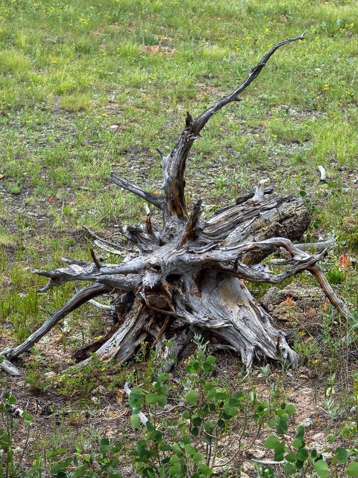 Close up look of dry dead tree trunk and roots with a lot of craggy texture