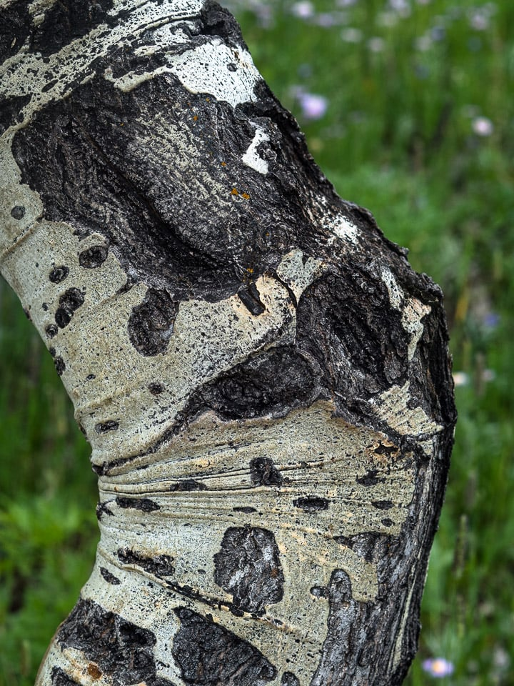 Close up look of a birch tree with textured bark in the Caribou Ranch Open Space in Nederland, CO