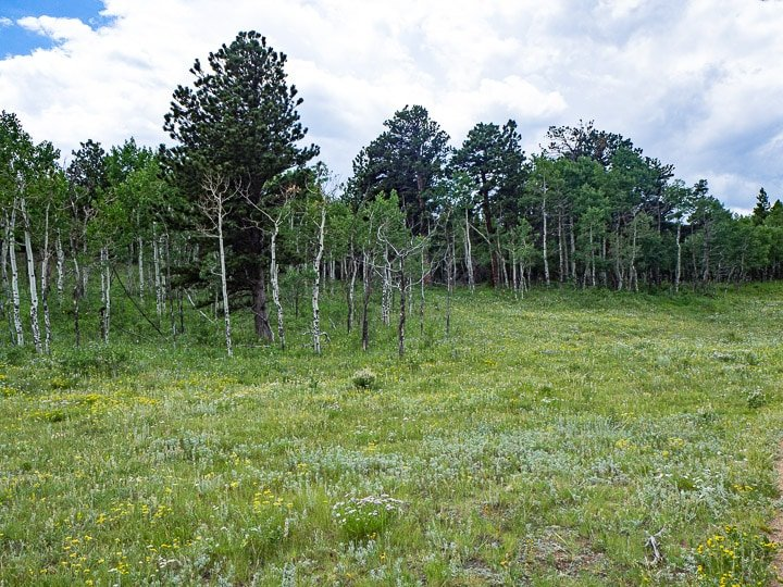 Landscape view of Caribou Ranch Open Space in Nederland, CO with tall pine trees and open grassy areas