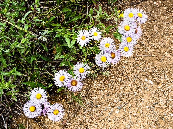 Close up look of white and purple daisies at the Caribou Ranch Open Space in Nederland, CO