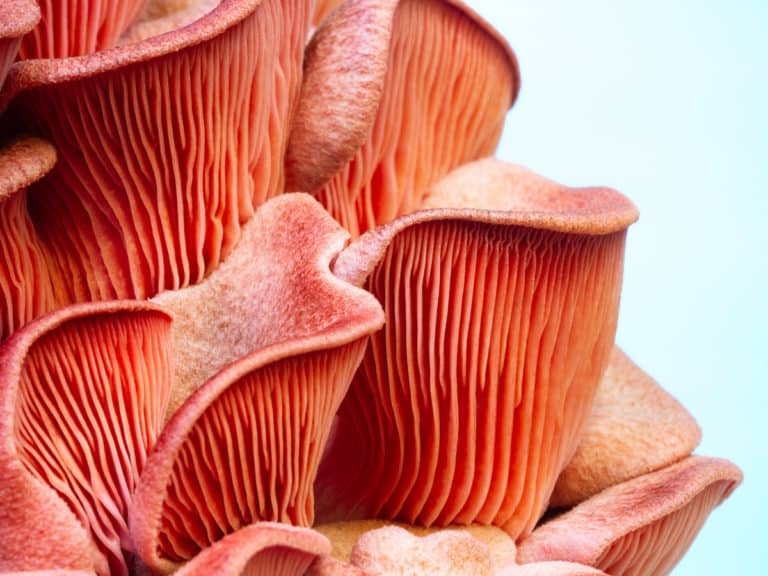 Close up view of the gills on pink oyster mushrooms
