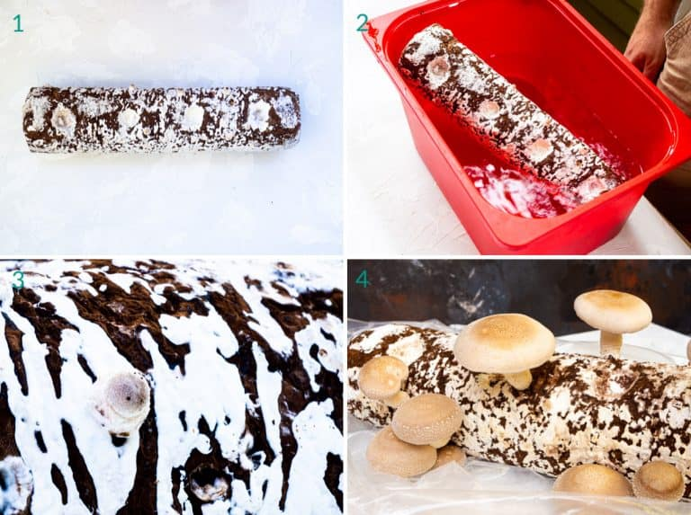 A collage of 4 images showing how to reheat prepare a mushroom growing kit
