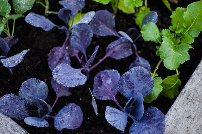 Close up shot of purple cauliflower leaves in our community garden plot. Stories from garlicdelight.com.